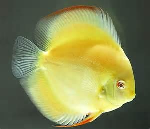 MY DISCUS FISH ONLINE