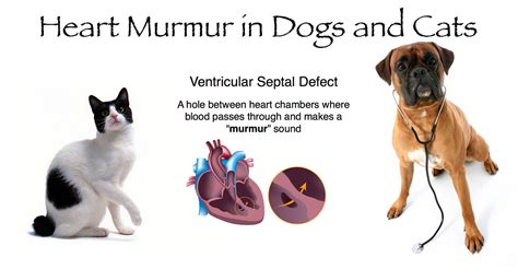murmurs in dogs dangerous faqs breeds picture
