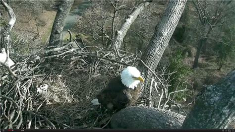 Video: Eagle Cam captures The First Lady laying 1st egg of ...