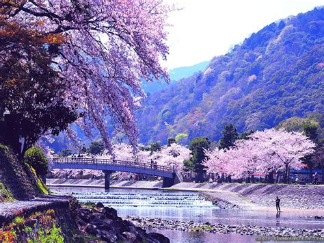 Japanese Cherry Blossom Tree 31 hd spring wallpapers backgrounds images design