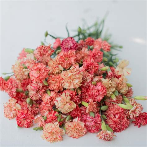 Dianthus Chabaud Orange carnation chabaud orange sherbet floret shop