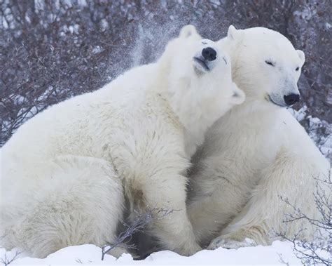 animals lying   polar bears desktop hd wallpaper
