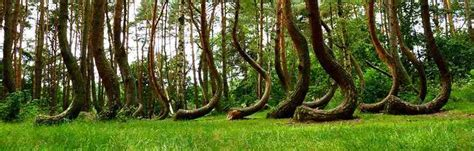 crooked forest poland crooked forest poland feel the planet