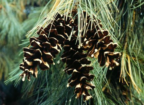 white pine cone plant database