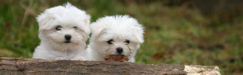cani da casa allevamento cuccioli di casa heidi alta professionalit 224