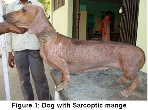 sarcoptic mange in dogs sarcoptic mange in dogs www imgkid the image kid has it