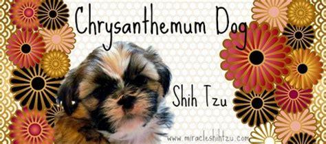 how to pronounce shih tzu twenty shih tzu facts