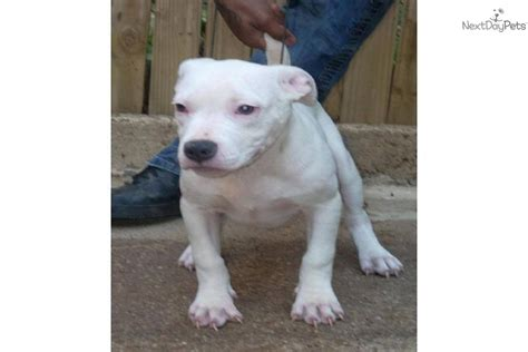 pitbull puppies for sale in dc american pit bull puppies for sale in washington breeds picture