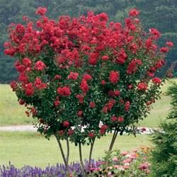 crepe myrtle colors crape myrtles summer color that beats the heat the