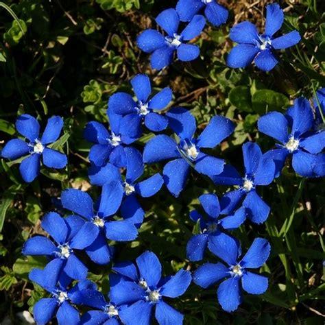 Fleurs Bleues Vivaces by Fleur Bleue Liste Ooreka