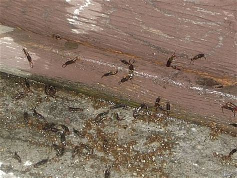 earwigs in bathroom the legend of the earwig pest cemetery