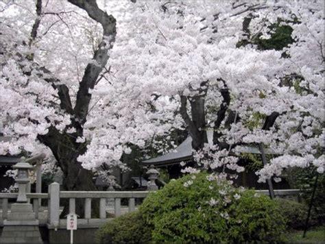 imagenes cerezo japones sakura bellos cerezos en flor en jap 243 n