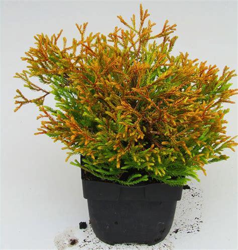 langsam wachsende thuja thuja occgolden tuffet zwerg lebensbaum koniferen