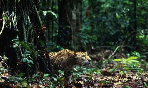 jaguars rainforest jaguars wwf