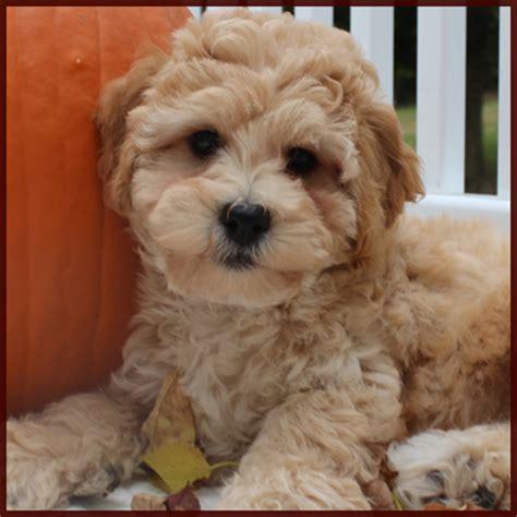 bichon poodle mix puppies for sale poochon bichpoo bichon poodle puppies for sale iowa