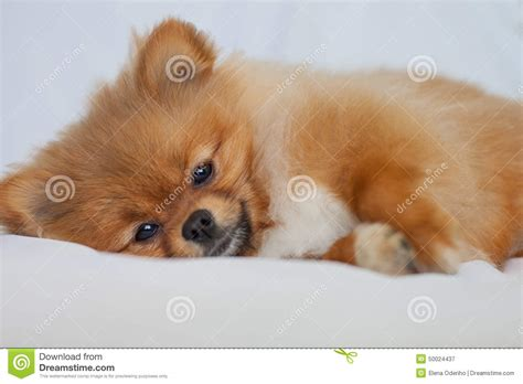 sleeping pomeranian pomeranian puppy sleeping on a white backgroundlies stock photo image 50024437