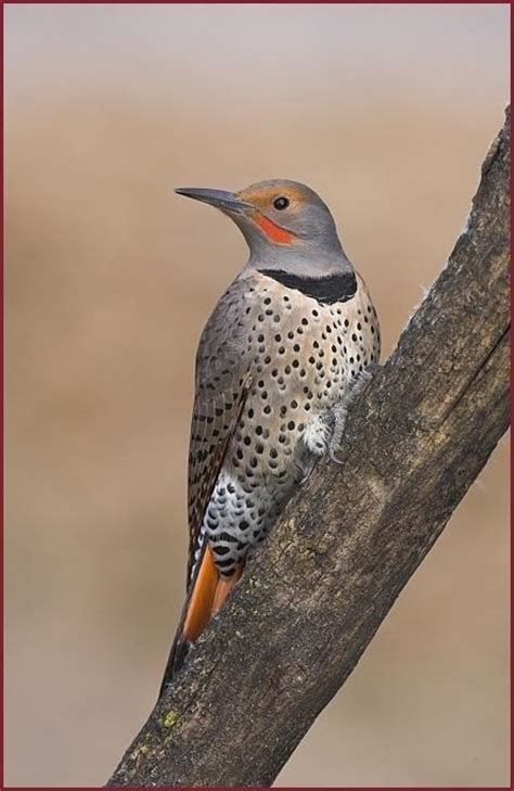top 28 flicker bird call northern flicker nest new