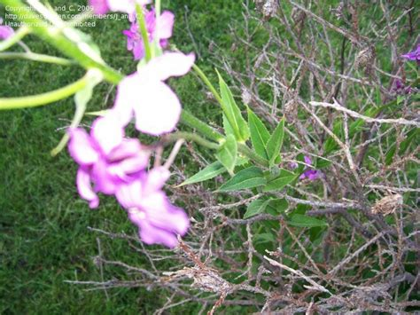 Plant Identification Purple Flowers Soft Fuzzy Leaves Purple Garden Flowers Identification