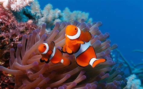 Ocellaris clownfish Nemo Fish Coral Reef Ocean Wallpaper