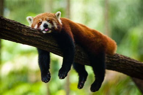 Red Panda - Animals Photos