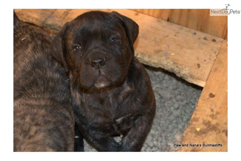 brindle bullmastiff puppies for sale brindle bullmastiff puppies for sale m5xeu breeds picture