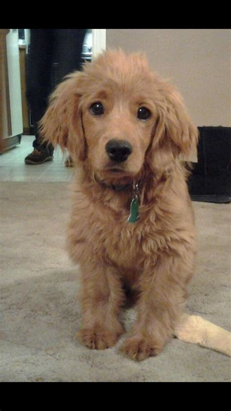 golden cocker retriever rescue best 25 golden cocker retriever ideas on cocker spaniel mix golden