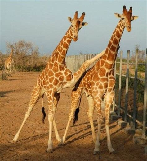 Drunk Giraffe Meme - jirafas estirando