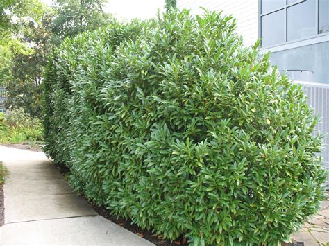online plant guide prunus laurocerasus schipkaensis