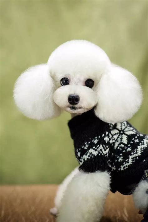 pics of poodle haircuts 184 best images about oy with the poodles already on