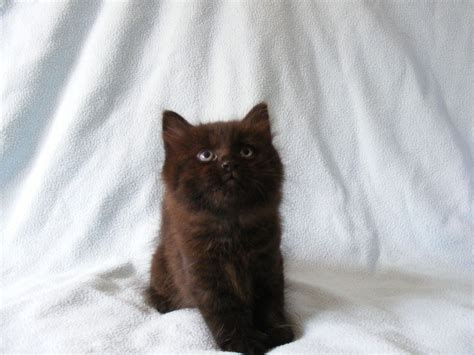 black fluffy black fluffy cat quotes