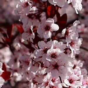 fiori di prugno tofu con fiori di prugno