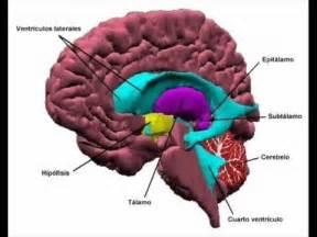 El cerebro humano universidad hispana campus cd serd 193 n
