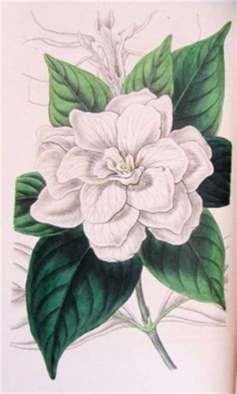 gardenia tattoo designs 1000 images about gardenia on gardenia