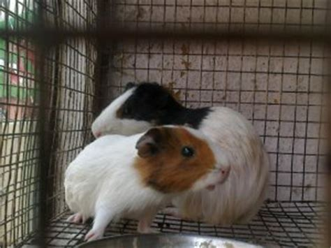 mini pomeranian price in india teddy breeders with teddy puppies for sale at lower prices breeds picture