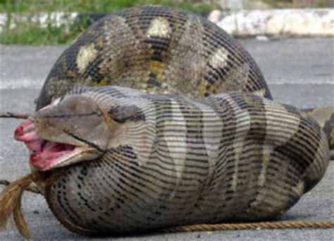 animals world: anaconda anacondas eating people and humens