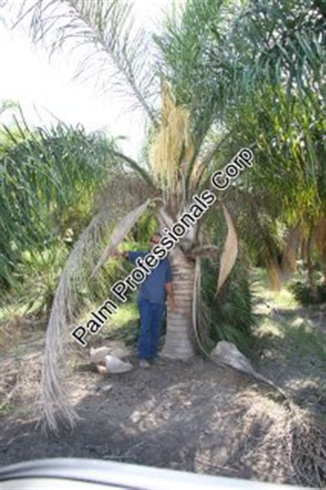 where to buy trees in houston palm tree cold hardy palm tree for sale in
