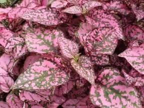 polka dot plant is a nice gift