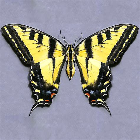 yellow butterfly tattoo realistic tiger yellow butterfly design