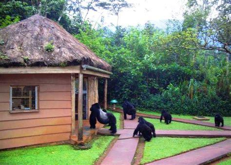 sanctuary gorilla forest camp uganda tourism center