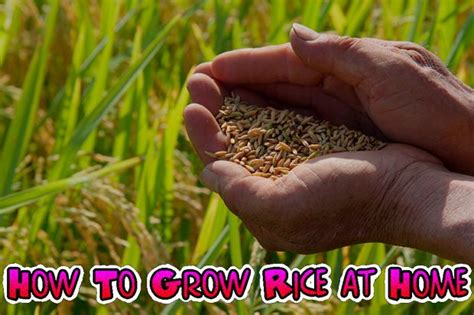 how to grow rice at home gardening