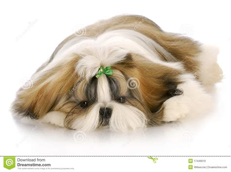 puppy laying puppy laying royalty free stock images image 17446619