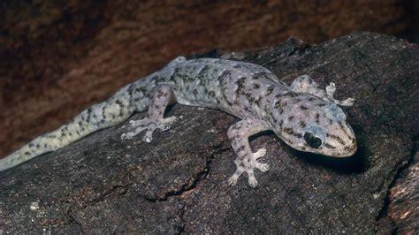 marbled gecko creatures   world wikia fandom