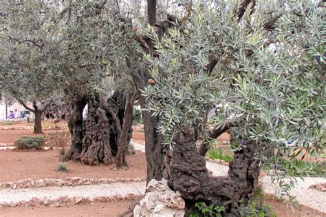Garden Of Gethsemane Images by Jesus In The Garden Of Gethsemane Models Picture
