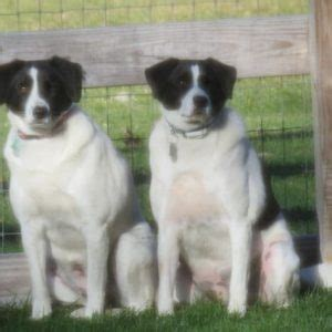adopted chip  ava beagle border collie mix dogs