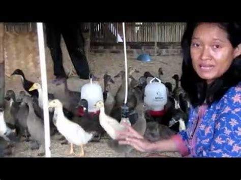 Tempat Jual Dod Bebek Peking cara ternak sapi ternak bebek hibrida pedaging