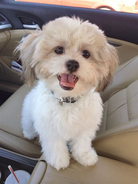 shih tzu mix with maltese shih tzu maltese mix breeds picture
