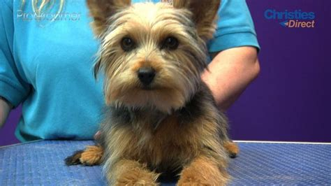 yorkies inc taunton best 25 terrier haircut ideas on yorkie cuts yorkie and