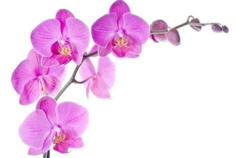 orchidea fiore orchidea poesia
