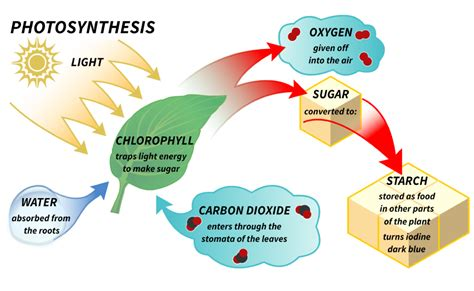 photosynthesis diagrams reach for the sun lesson 2 photosynthesis filament