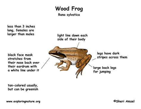 diagrams of frogs frog diagram